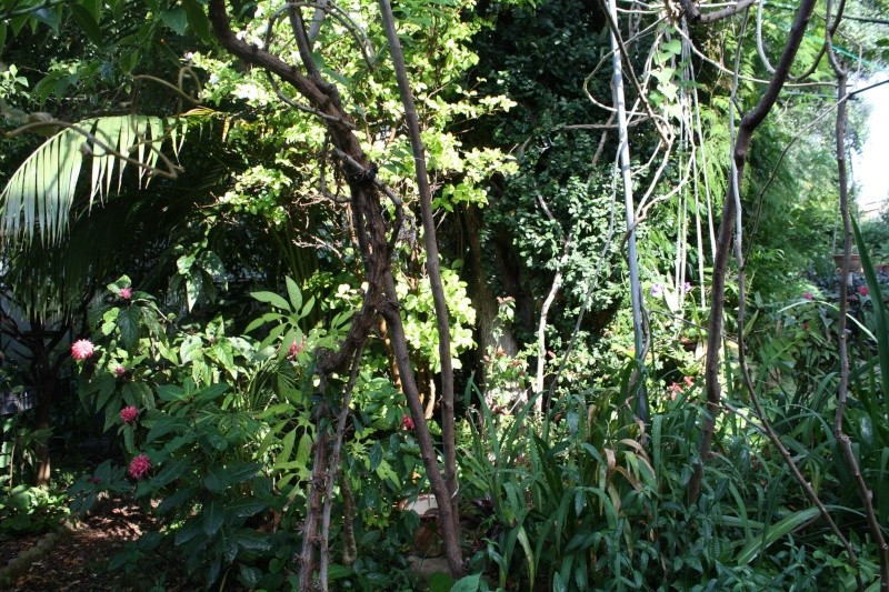 Ficus pumila - Page 4 Autour11