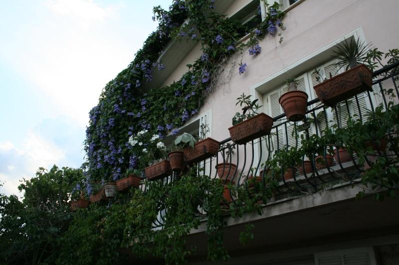 Thunbergia grandiflora Balcon10