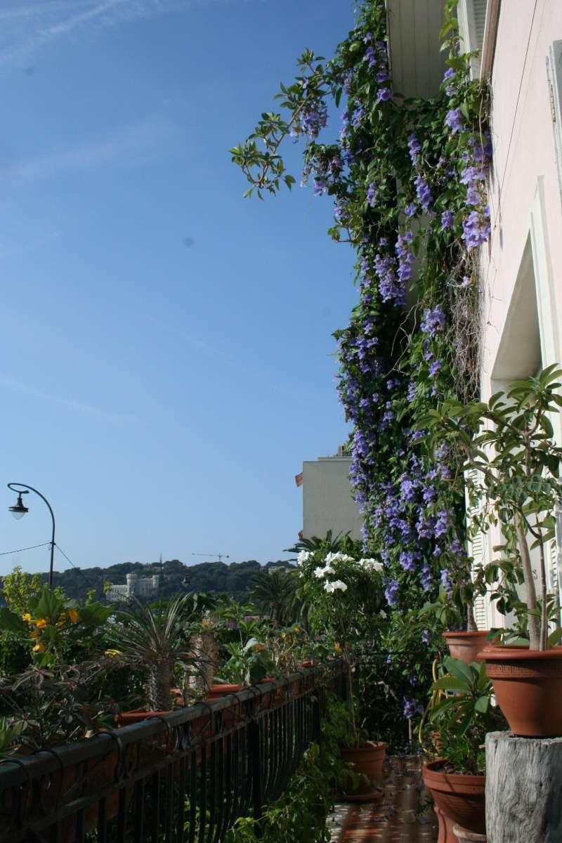 Thunbergia grandiflora Balcon11