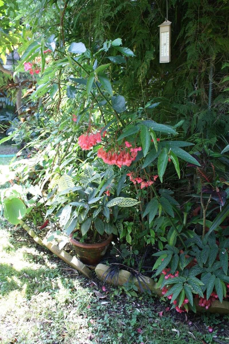 Begonia maculata et horticoles - bégonia bambou Begoni10
