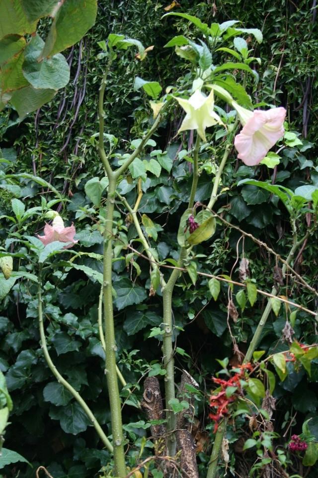 Quelques fleurs après la pluie Brugma12