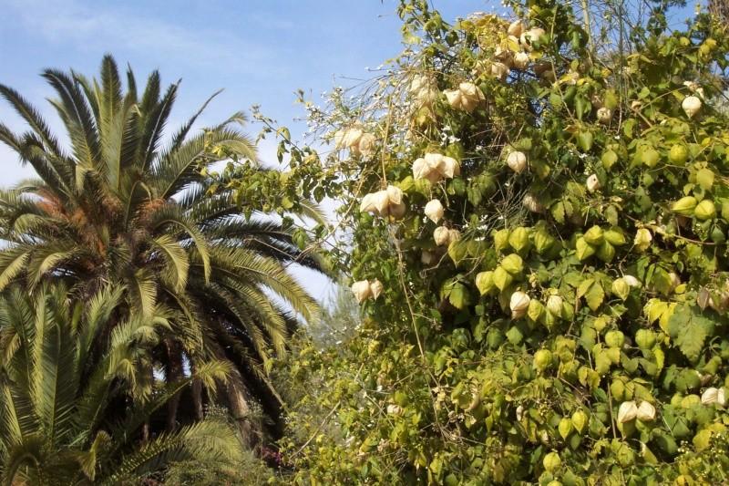 Cardiospermum halicacabum - cardiosperme Cardio10