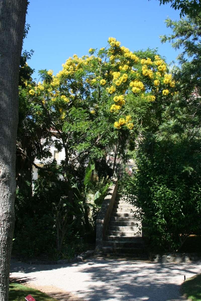 Cassia leptophylla Cassia10