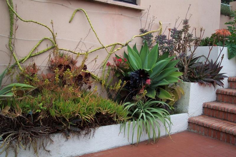 Thunbergia grandiflora Chez_j10
