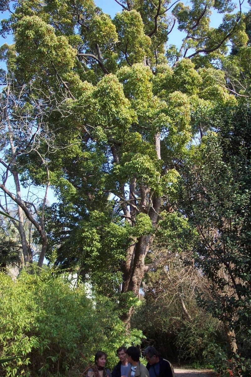 Cinnamomum camphora - camphrier - Page 3 Cinnam10