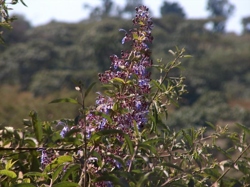 Rotheca myricoides (= Clerodendrum ugandense) - clérodendron ougandais Clerod10