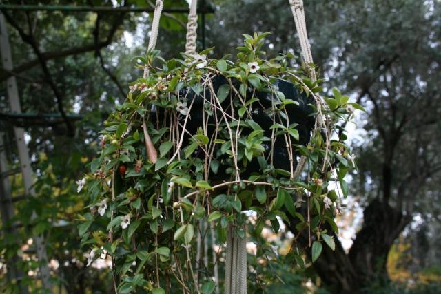 Quelques fleurs après la pluie Codona10