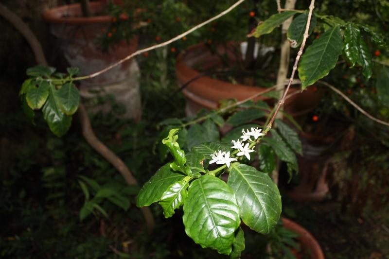 Coffea arabica Coffea10