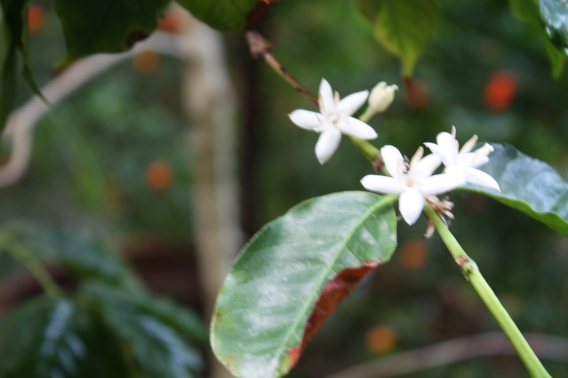 Coffea arabica Coffea12
