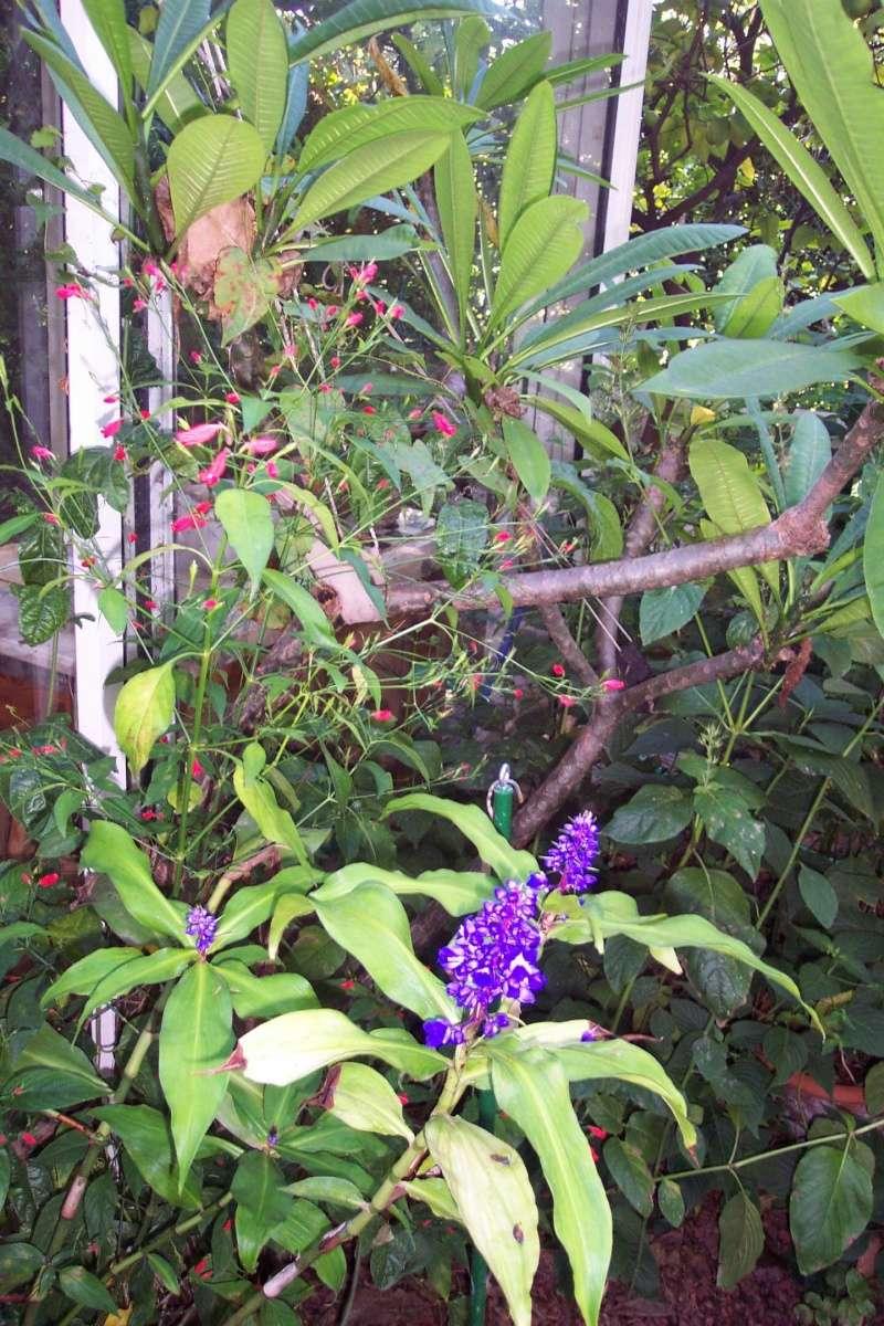 Dichorisandra thyrsiflora - gingembre bleu Dichor11