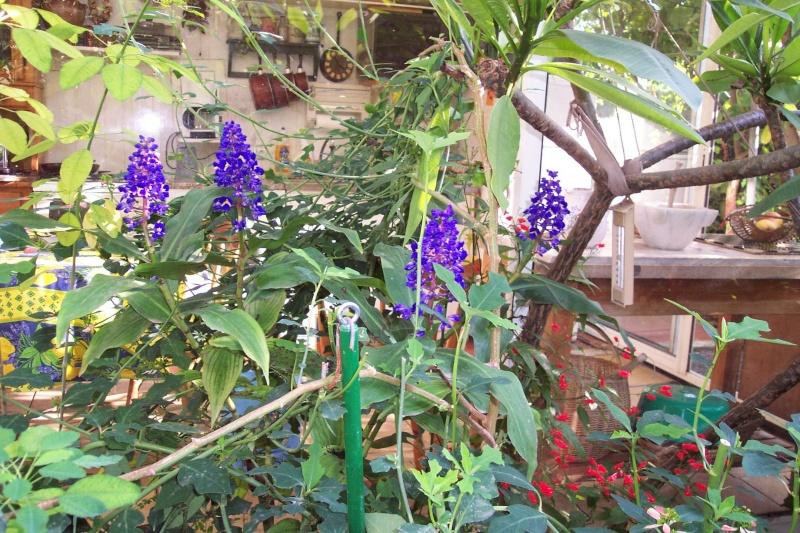 Dichorisandra thyrsiflora - gingembre bleu Dichor12