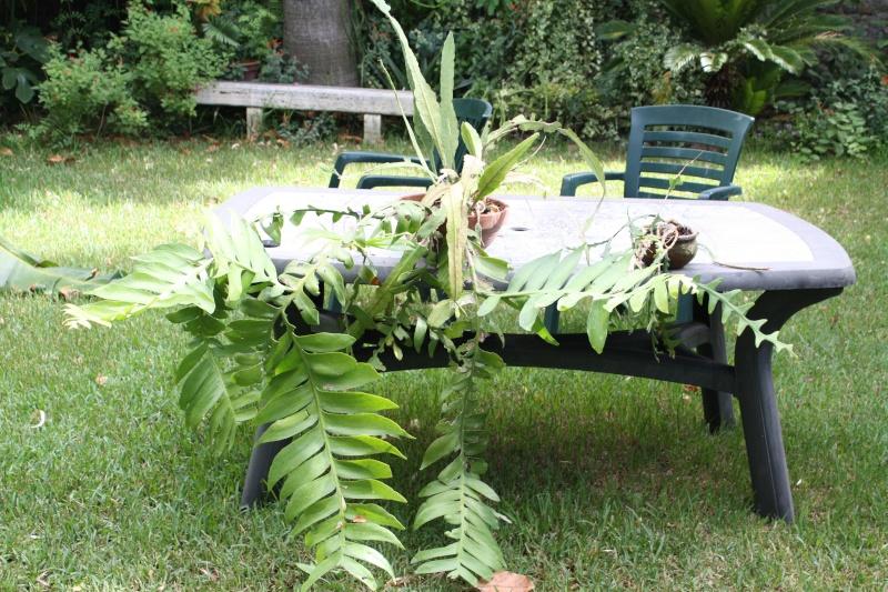 Epiphyllum chrysocardium Epiphy12