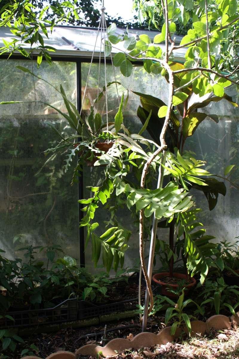 Epiphyllum chrysocardium Epiphy13