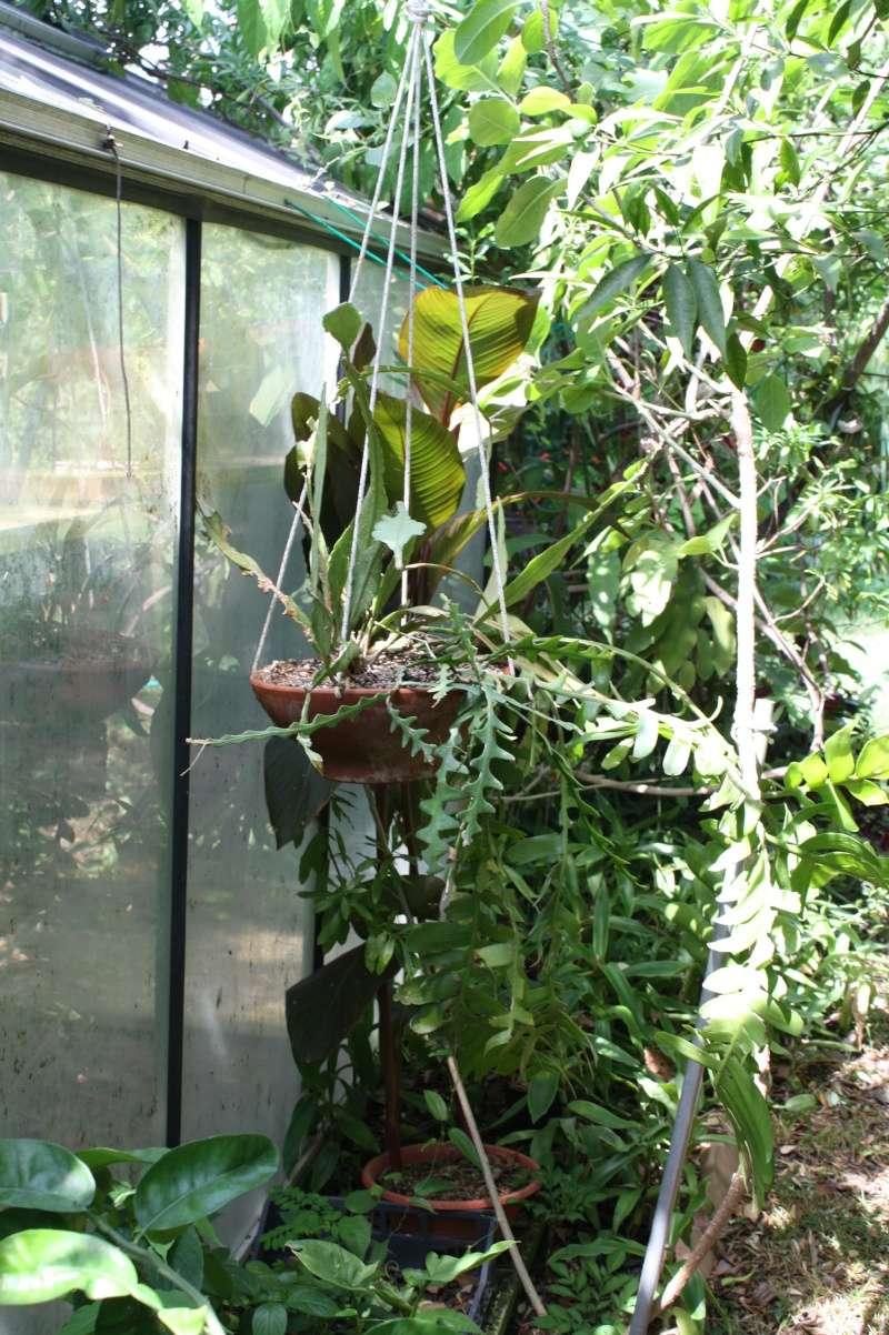 Epiphyllum chrysocardium Epiphy14