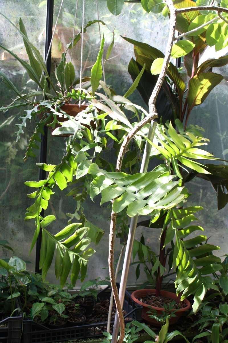 Epiphyllum chrysocardium Epiphy15