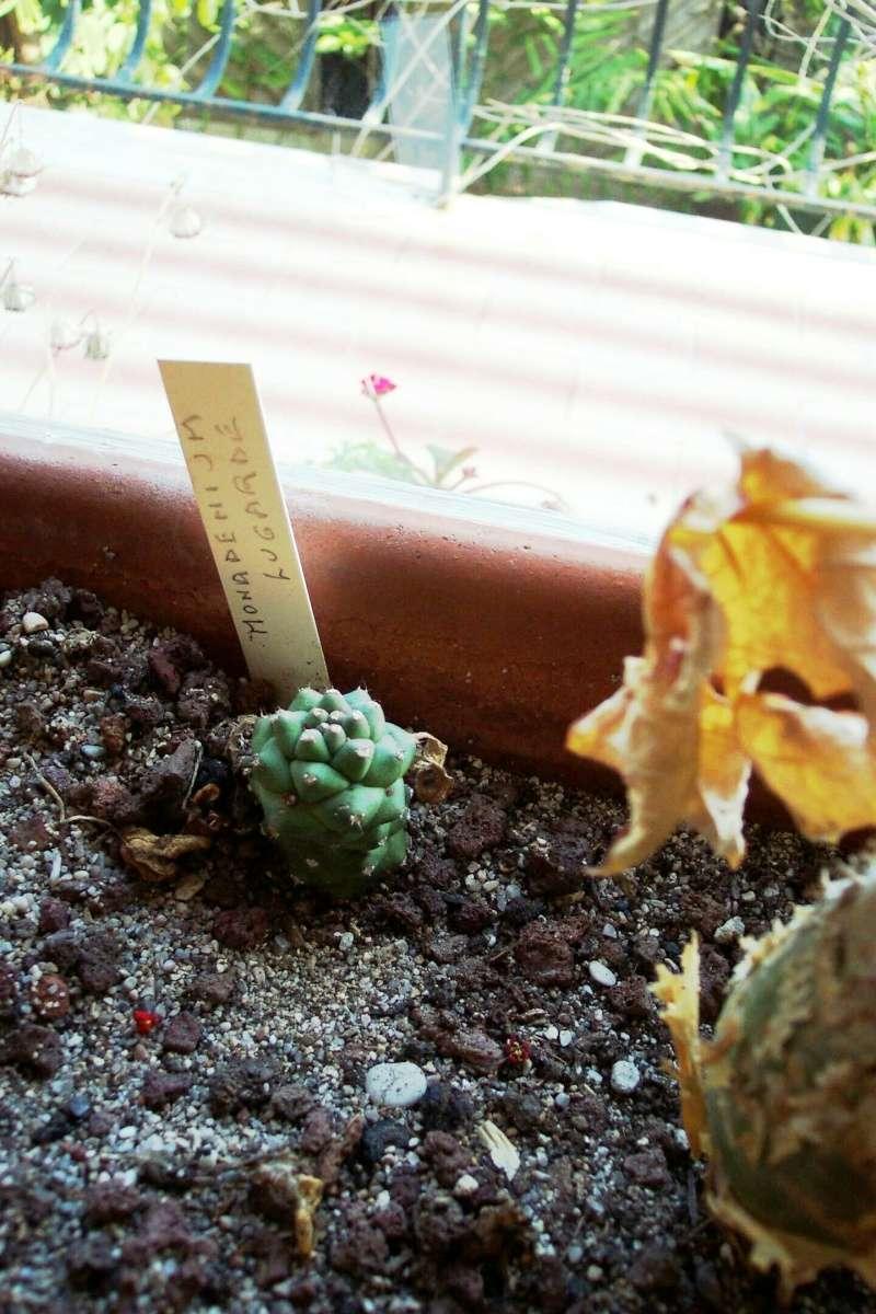 Euphorbia ritchiei (= Monadenium ritchiei) Euphor16