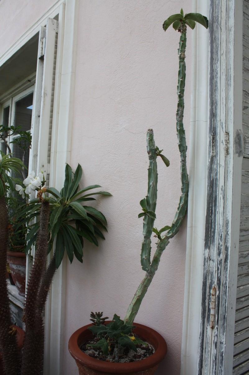Euphorbia neoarborescens (= Monadenium neoarborescens) Euphor26