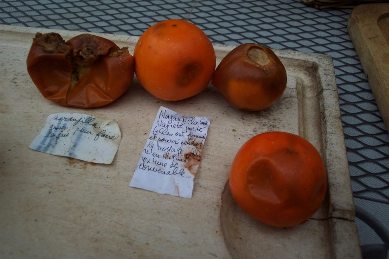 Solanum quitoense - lulo Fruits10