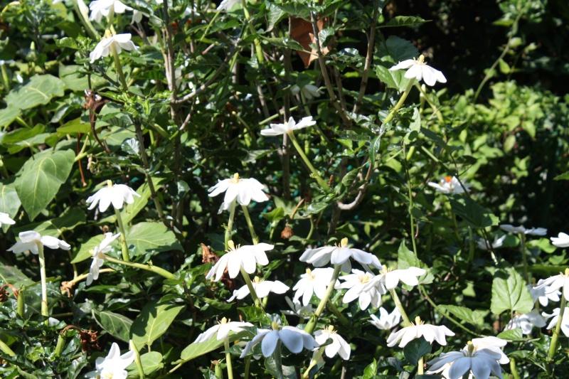 nos plantes parfumées - 2011-2015 - Page 6 Garden15