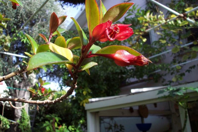 Gesneriaceae - la famille Gesner10
