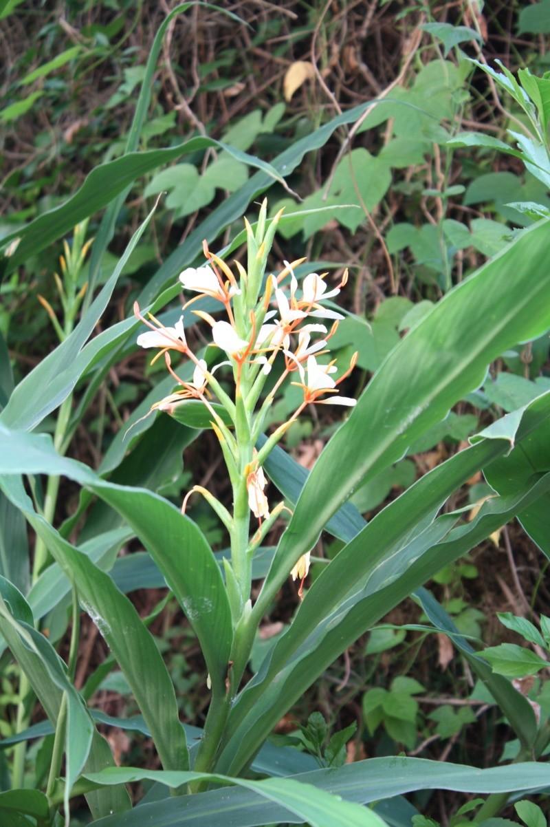 Hedychium spicatum Hedych14