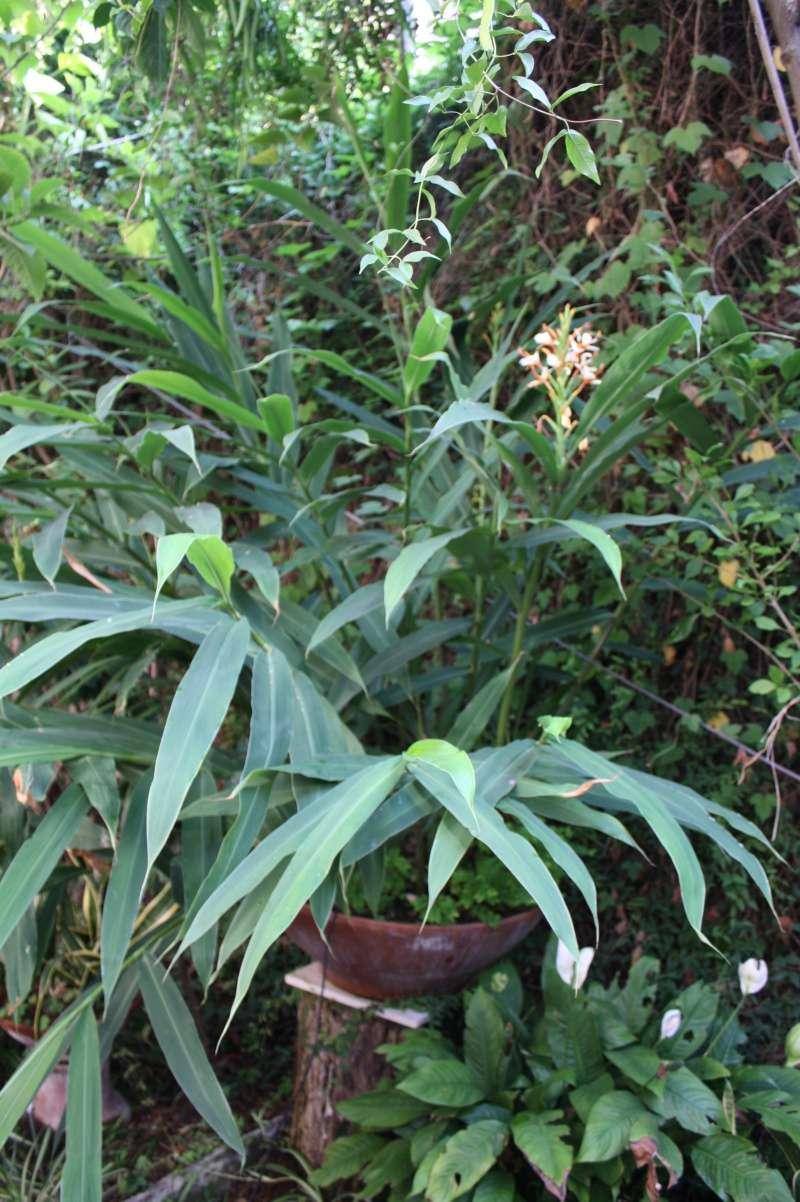 Hedychium spicatum Hedych15
