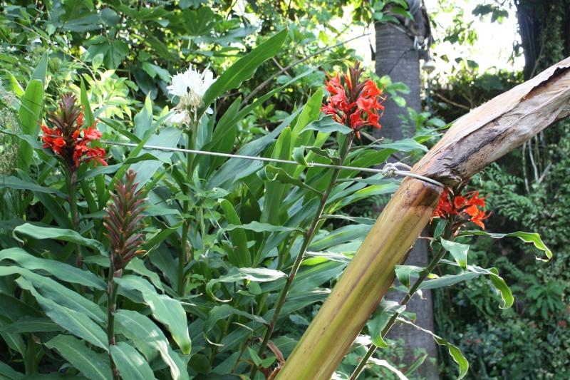 Hedychium rubrum Hedych25