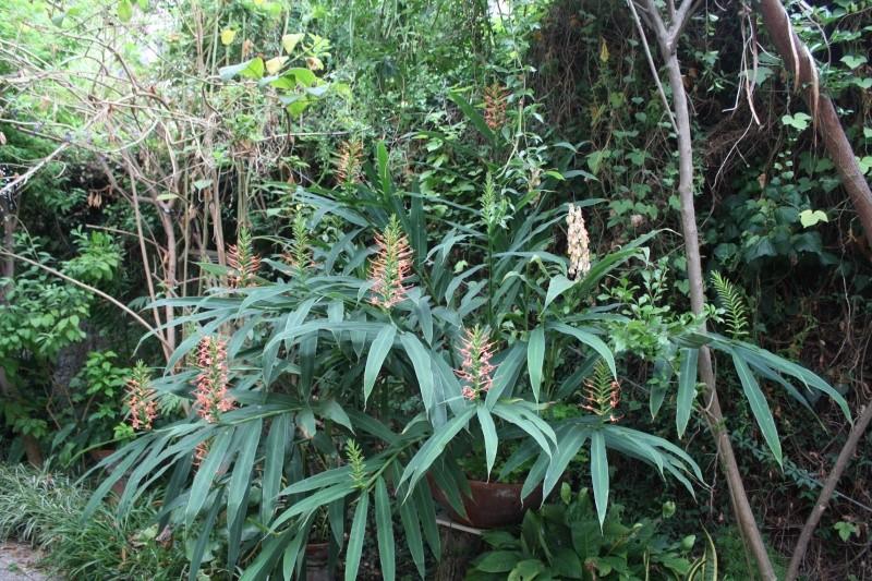 Hedychium coccineum var carneum Hedych28
