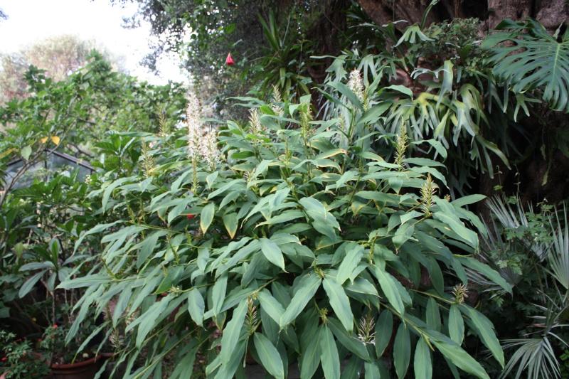 Hedychium gracile Hedych38