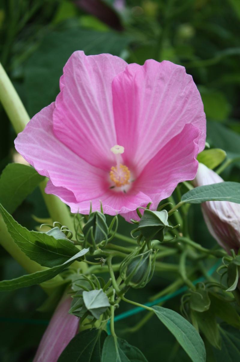 Hibiscus palustris  Hibisc18