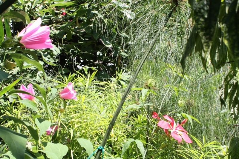 Hibiscus coccineus Hibisc21