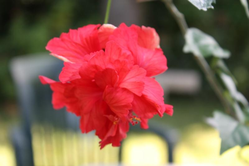 Hibiscus 'El Capitolio' et Hibiscus sinensis Hibisc23