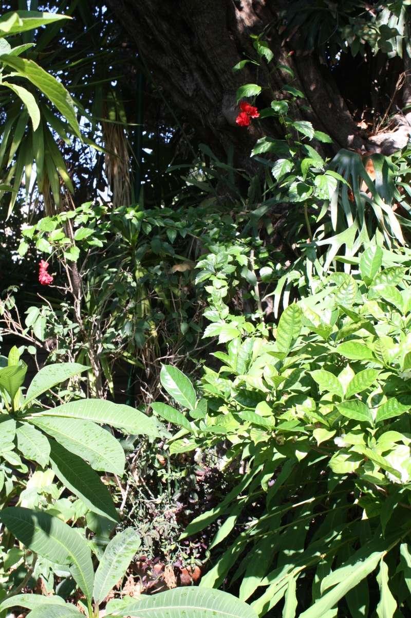 Hibiscus 'El Capitolio' et Hibiscus sinensis Hibisc24
