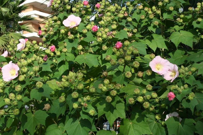 Hibiscus mutabilis  Hibisc27