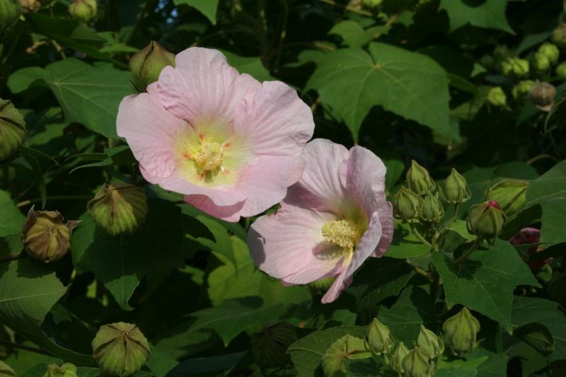 Hibiscus mutabilis  Hibisc28