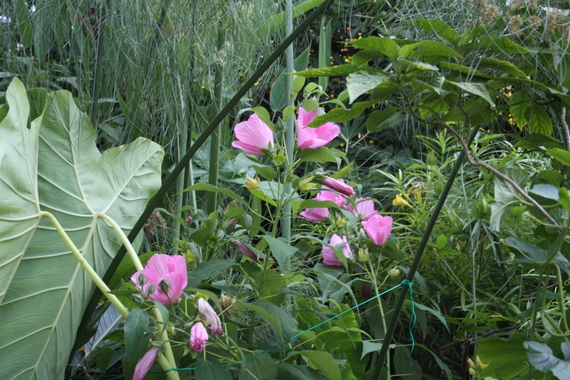 Hibiscus palustris  Hibsux10