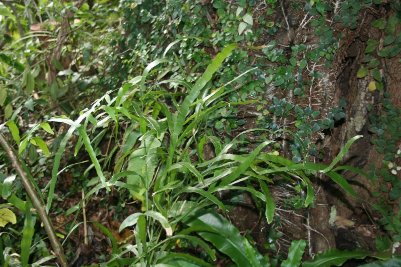 Homalocladium platycladum Homalo10