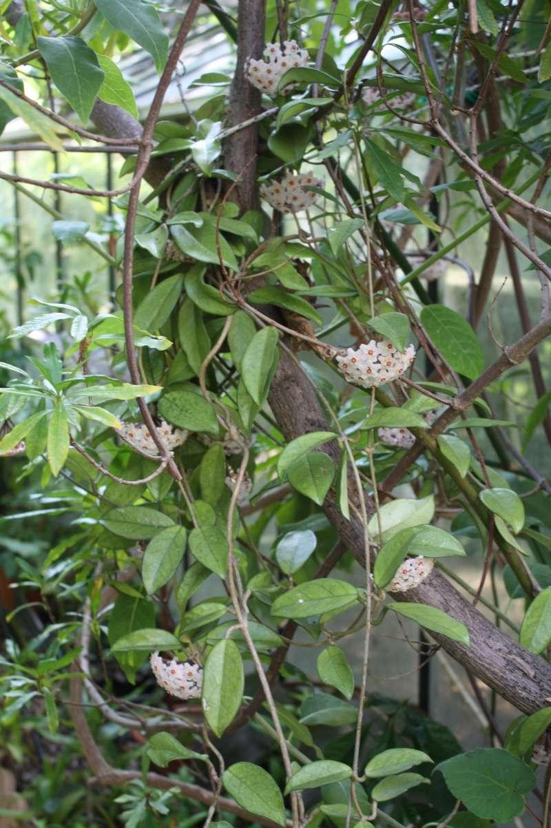 Hoya carnosa en pleine terre Hoya_c10