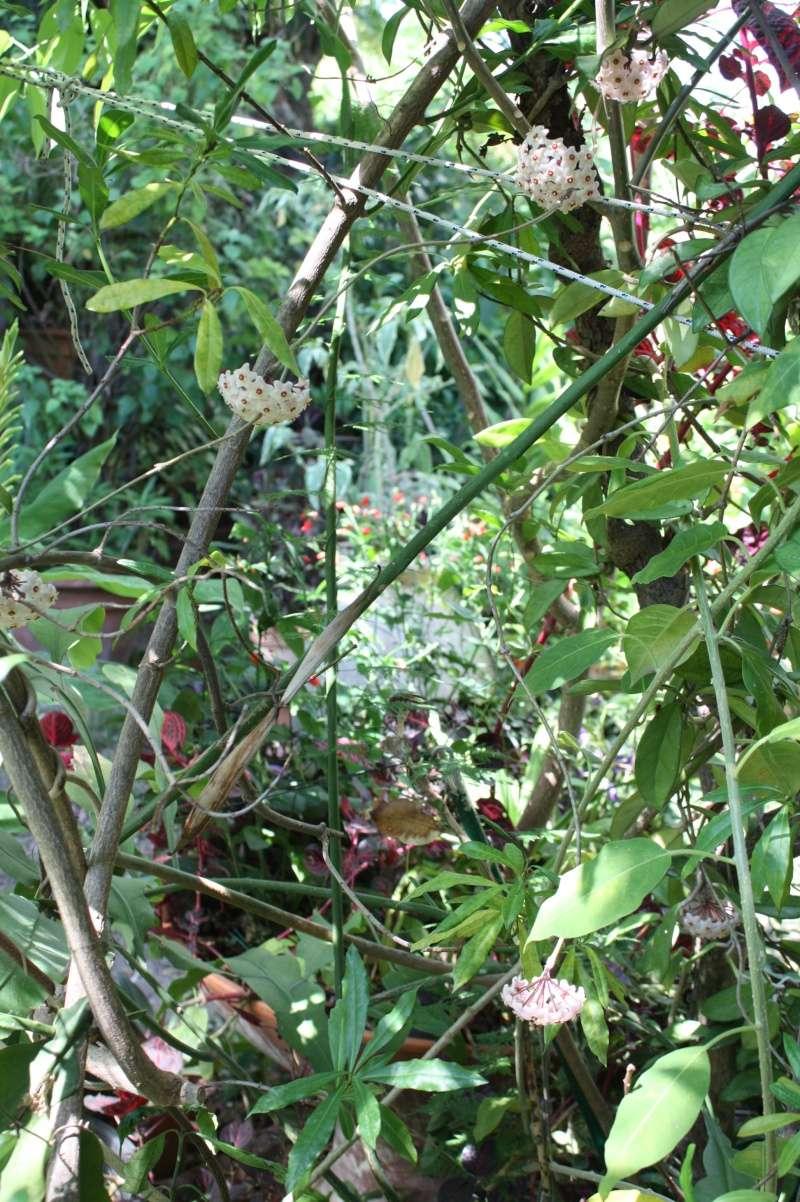 Hoya carnosa en pleine terre Hoya_c12
