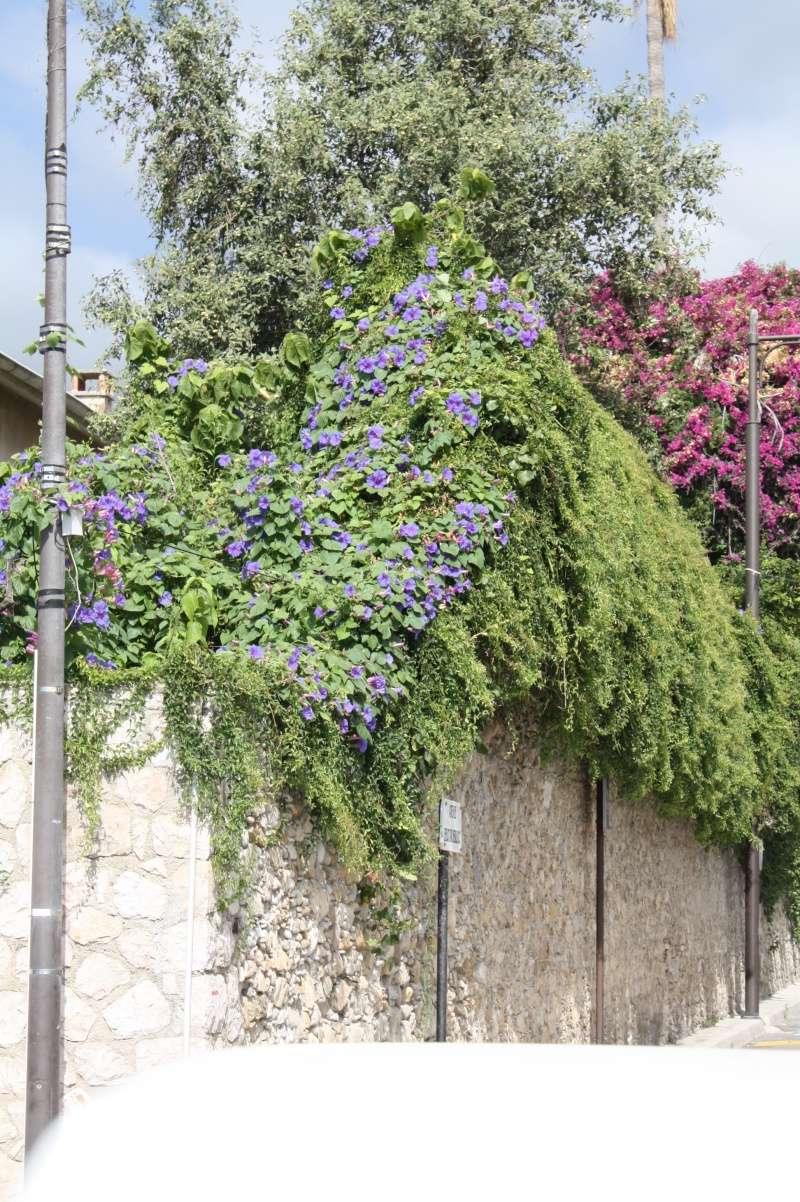 massifs en bleu - fleurs bleues et belles associations - Page 2 Ipomoe14