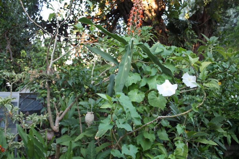 Ipomoea alba - fleur de lune Ipomoe16
