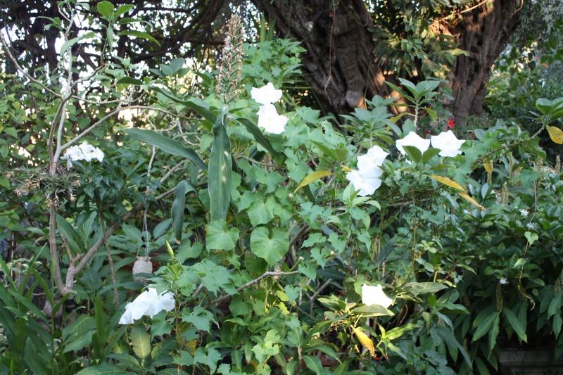 Ipomoea alba - fleur de lune Ipomoe19