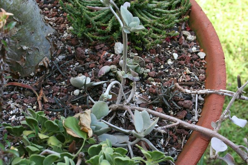Bryophyllum beauverdii (= Kalanchoe beauverdii) Kalanc23