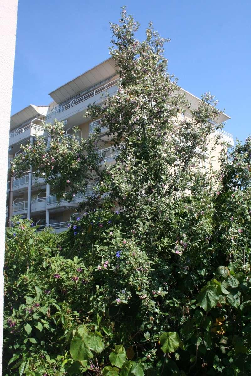 Lagunaria patersonia Laguna11