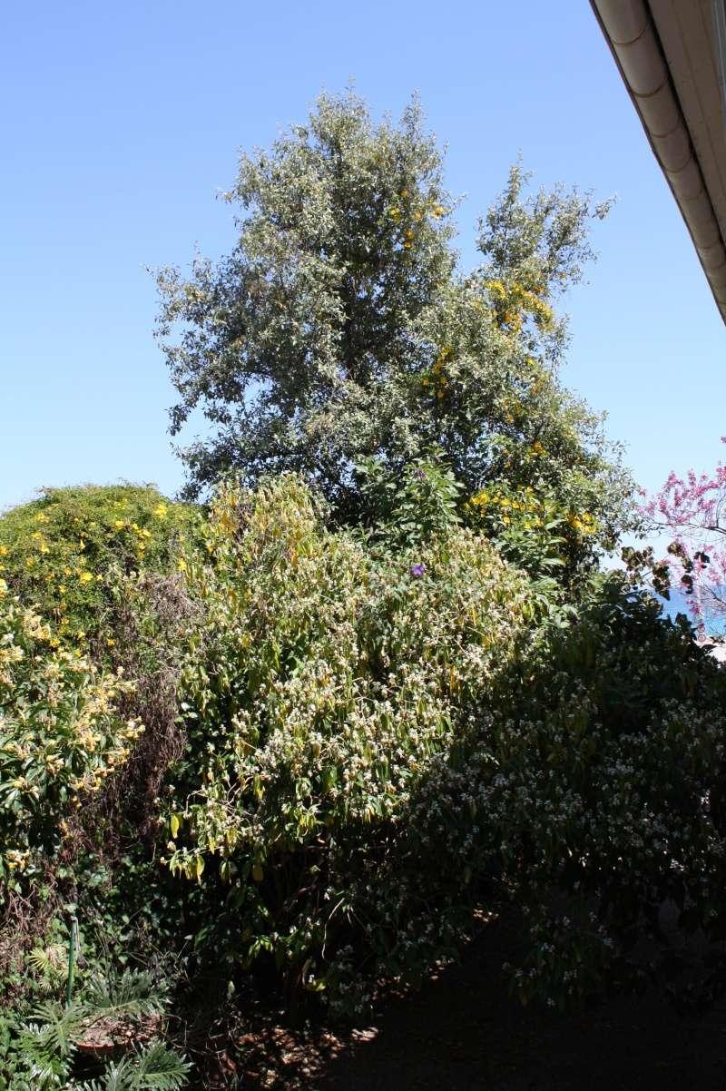 lagunaria - Lagunaria patersonii Laguna15