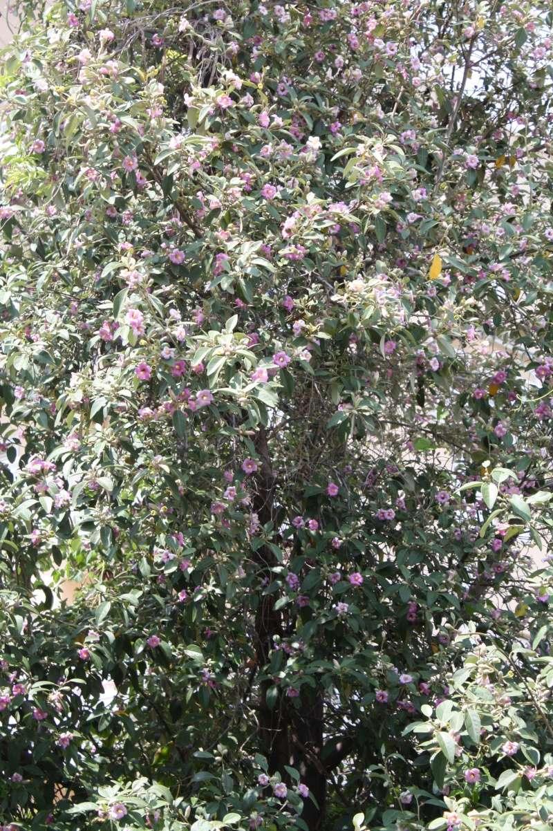 Lagunaria patersonii Laguna16