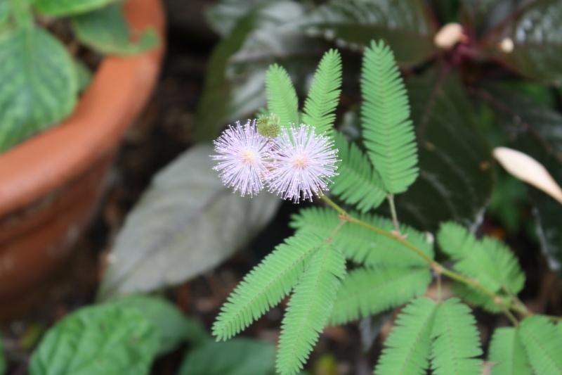 Mimosa pudica - sensitive Mimosa11