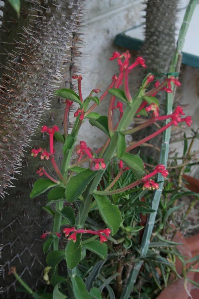 Euphorbia neococcinea (= Monadenium neococcineum) Monade12