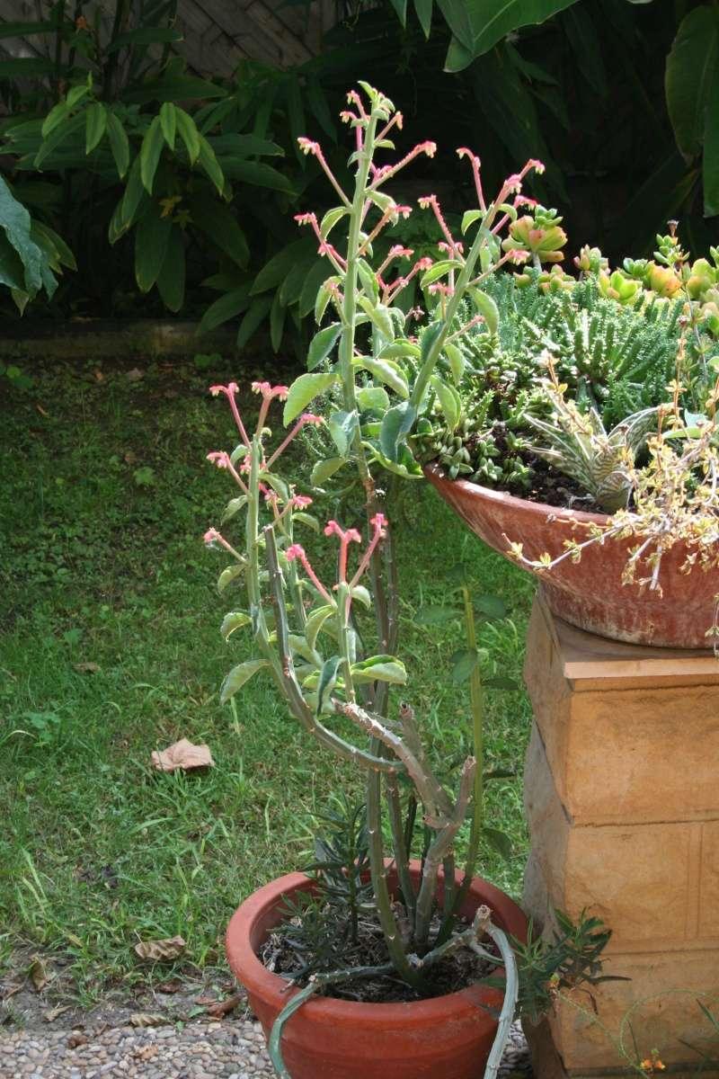 Euphorbia neococcinea (= Monadenium neococcineum) Monade14