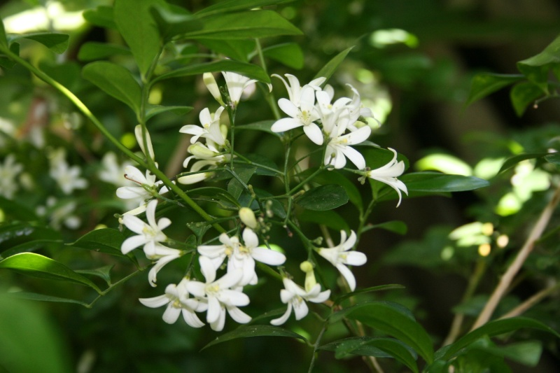 Murraya paniculata - bois-jasmin Murray11